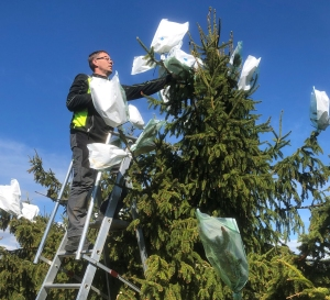 controlled pollination of trees