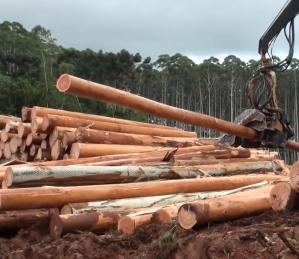 Eucalytus Logs in Brazil