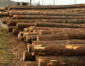 Southern pine logs
