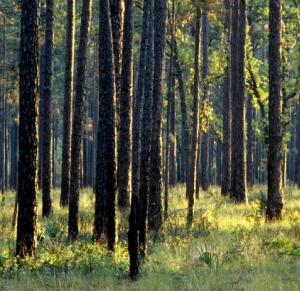 southern pine forest